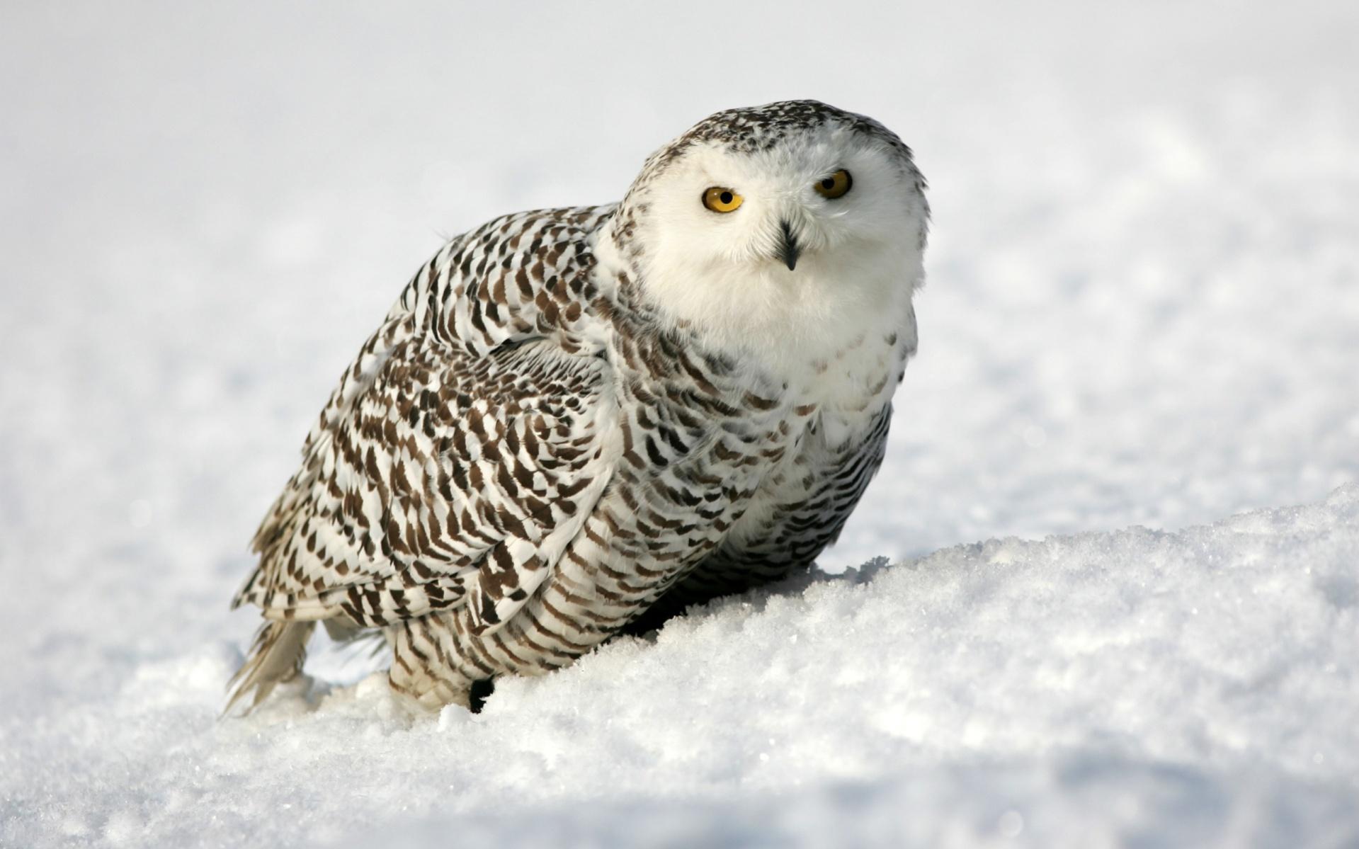 Free Winter Owl Wallpaper