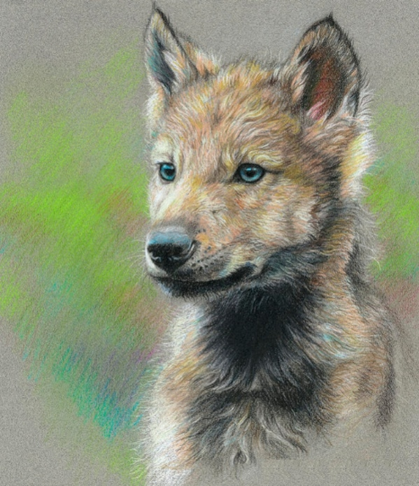 Cool Baby Wolf Drawing