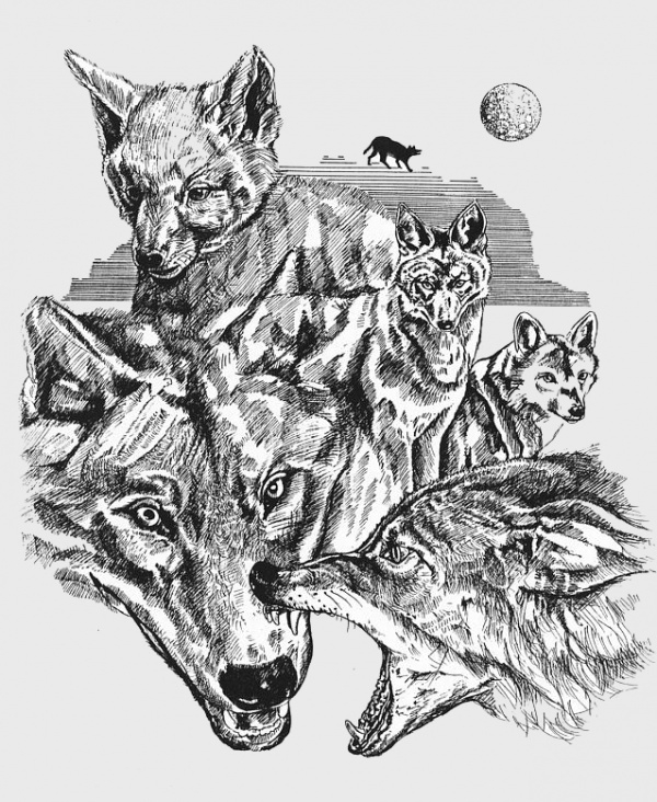 drawing of wolf life cycle