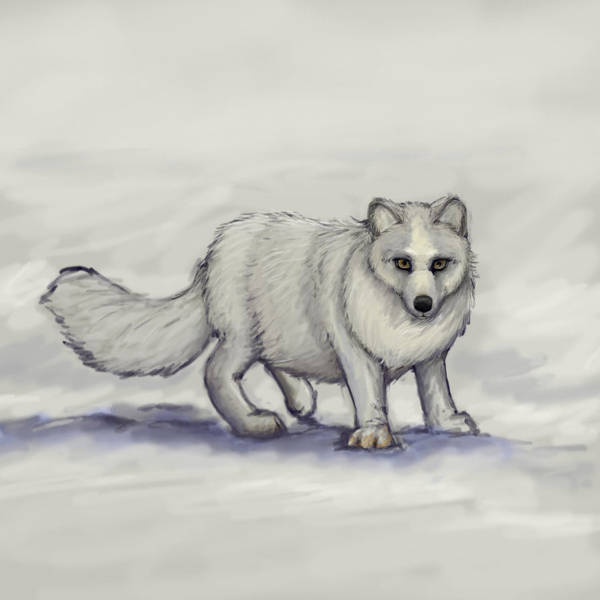 Arctic Fox Drawing