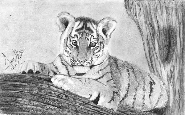 Baby Tiger Drawing