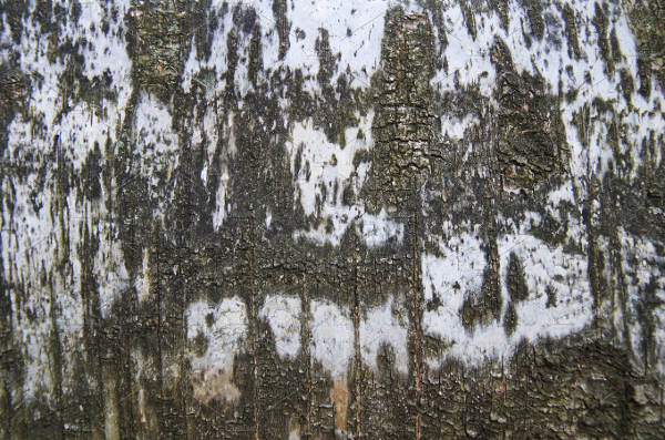 Birch Tree Bark Texture Pack