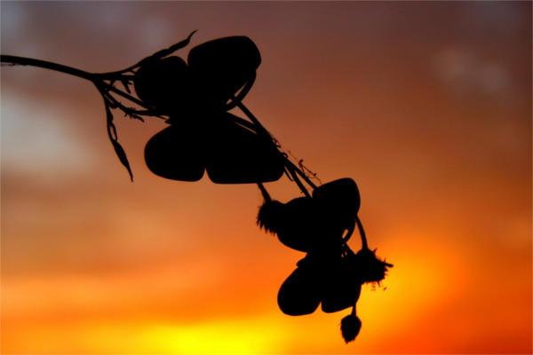 Butterfly Flower Silhouette