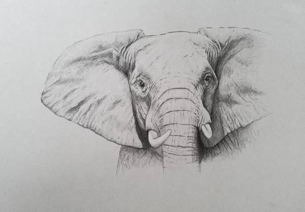 Elephant Tusk Drawing