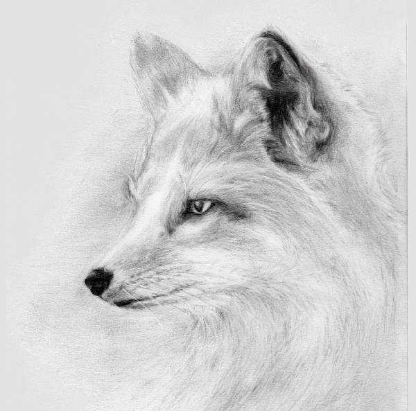 Fox Face Drawing