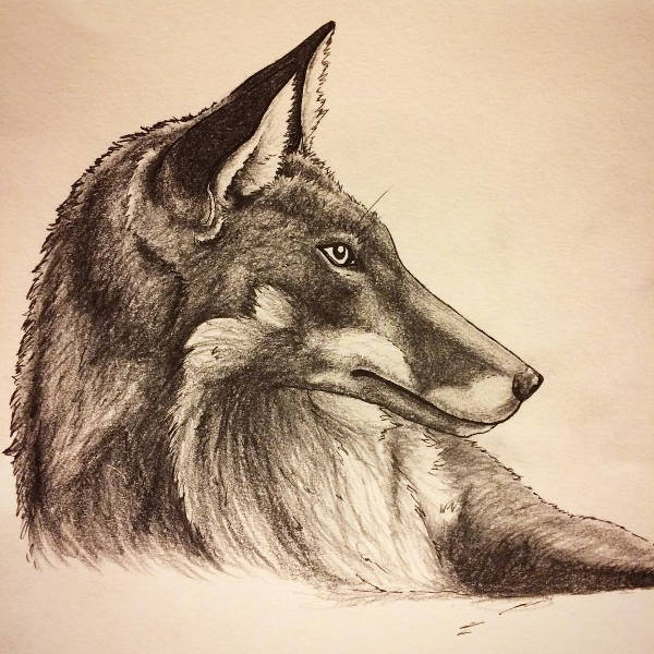 Fox Sketch Drawing