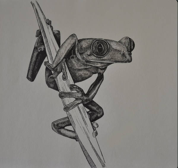 Frog Drawing for Kid