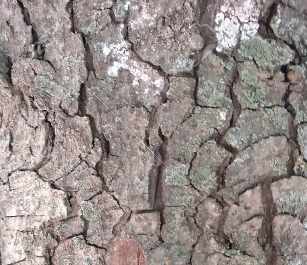 Hi- Res Seamless Tree Bark Texture