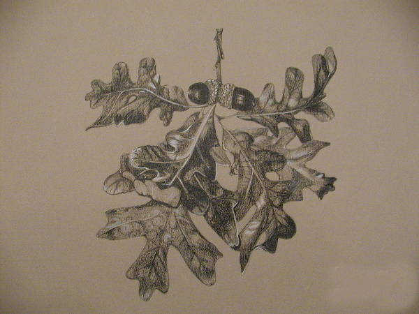 Oak Leaf Drawing