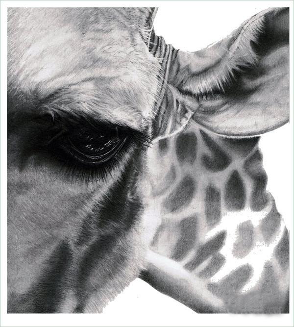 Realistic Giraffe Drawing