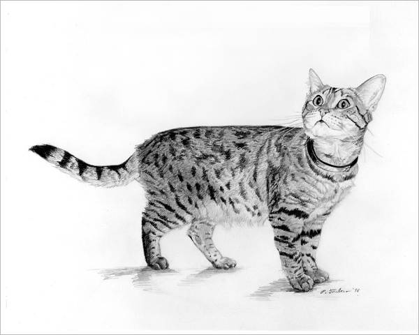 Tabby Cat Drawing